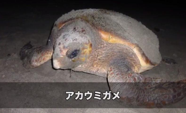 日本が世界に誇るアカウミガメと砂浜の危機