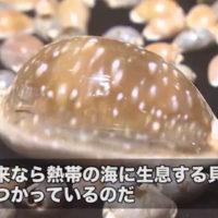 なぜだい?日本海に熱帯貝!?