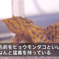 浜名湖に現れた猛毒のタコ